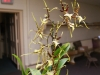 brassia shooting star