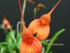 Masd Joyce Stewart hybrid angel frost x ignea