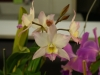 cattleya mossias