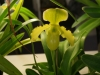 Paph Jaime Chantry