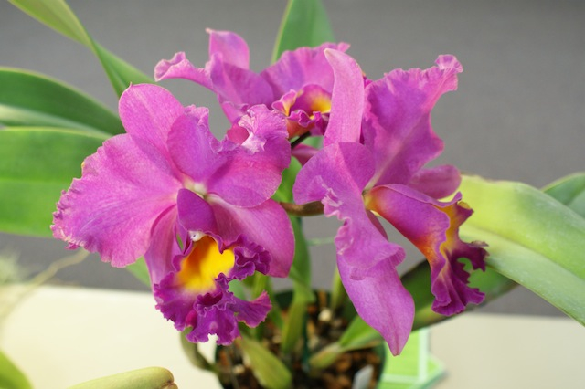 DOS September 2013 Meeting - Delaware Orchid Society